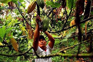 learn about making chocolate from cacao in the Amazon rainforest of Ecuador
